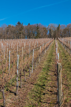 Little wineyard with rows of grapevines and the forest