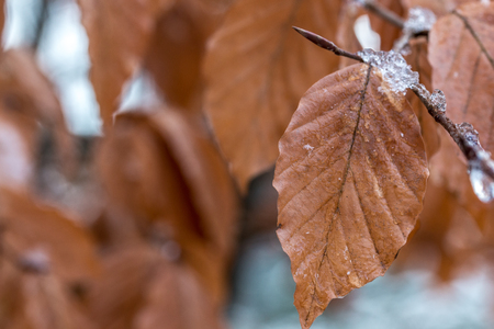 Brown frozen leaves with ice in winter Stock Photo