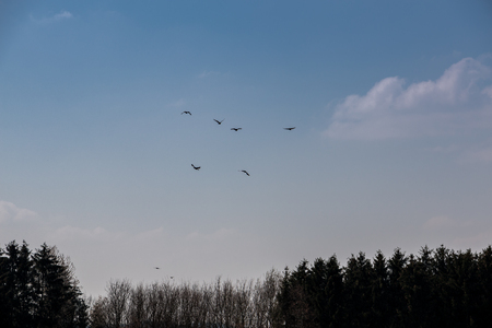 Flying birds in the blue and cloudy sky above the forest