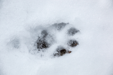 Foot print of a dog or a wolf on the white snow Stock Photo