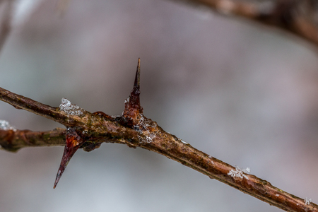 Brown frozen spines with ice in winter