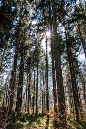 Sunrays through the trees of the dark forest Stock Photo