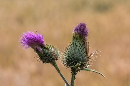Violet thistle on the golden field of grain Stok Fotoğraf