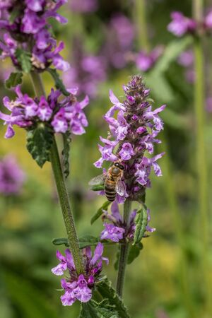 Bee on a violet flower in the middle of the wildflower meadow Фото со стока - 130807621