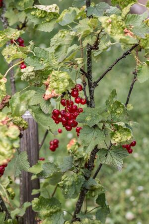 Red currant berries and green leaves in the green garden