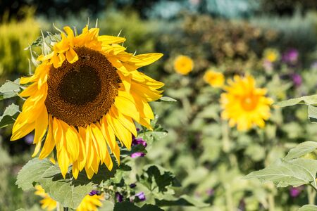 Big bright golden sunflowers on the big sunflower field with bees Stok Fotoğraf