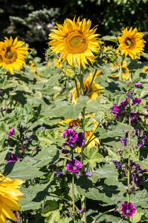 Big bright golden sunflowers on the big sunflower field with bees Фото со стока - 130809171