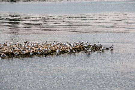 Group of sea mews near the lake