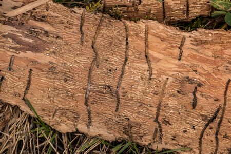 Many worm grooves on a wooden piece of tree bark 版權商用圖片