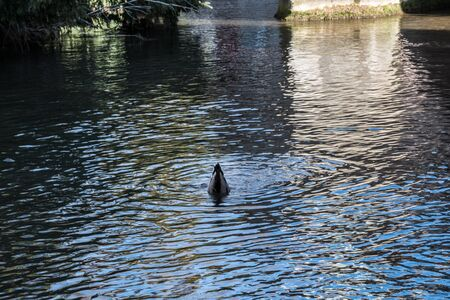 Diving duck near a stone bridge of the the old section of the town