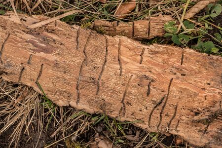 Many worm grooves on a wooden piece of tree bark Standard-Bild