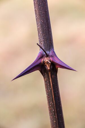 Big purple thorns in the middle of the green field Standard-Bild