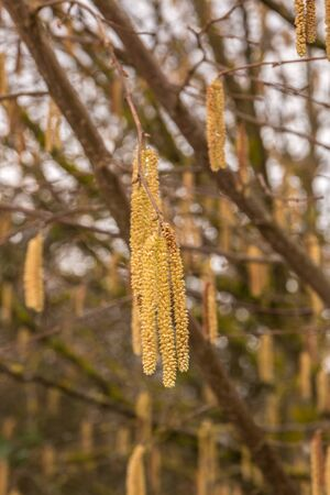 Hazelnut tree with a lot of big yellow hazelnut pollen