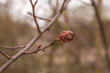 Dry rose hip on the branch in winter