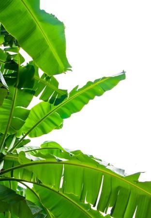 banane: La feuille de bananier isol� sur fond blanc
