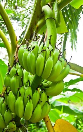 Green Bananas on a tree, Thailand.  photo