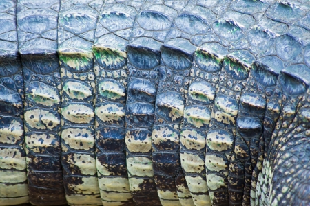 Crocodile skin texture Stock Photo - 13844400