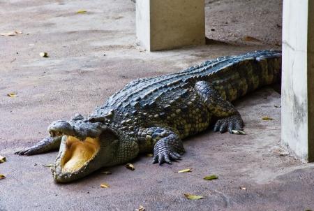 Crocodile on a farm, Thailand photo