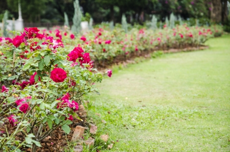 rose garden at sampran riverside nakronprathom, thailand Stock Photo