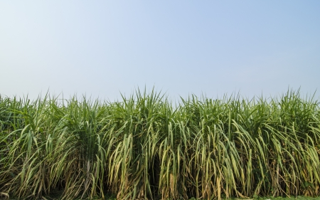 Sugarcane is grown with blue sky photo