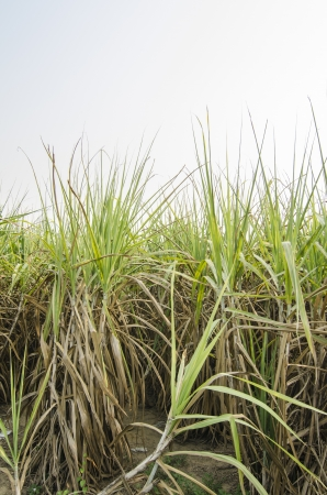 Sugarcane is grown photo