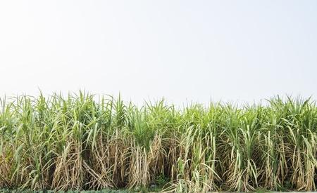 Sugarcane is grown Stock Photo