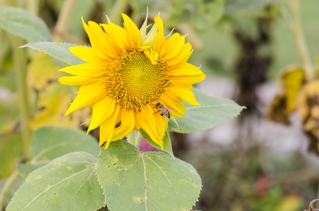 Close-up of sun flower  photo