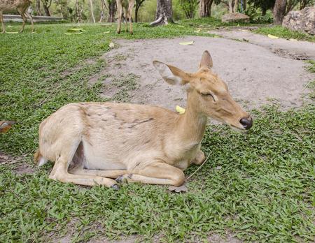 close-up Siamese Elds deer (Cervus eldi)