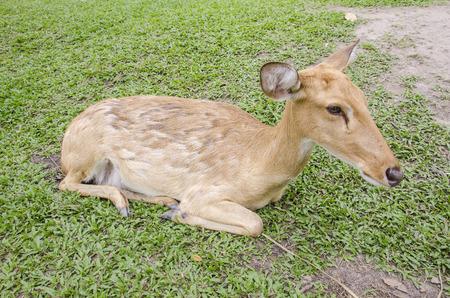 close-up Siamese Eld's deer (Cervus eldi) Stock Photo - 26502064