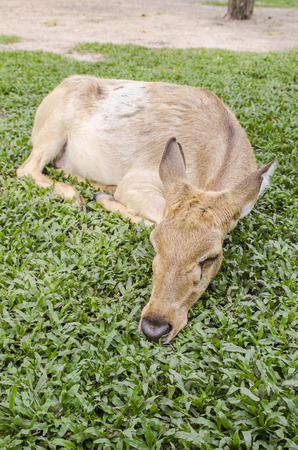 close-up Siamese Eld's deer (Cervus eldi) Stock Photo - 26502065