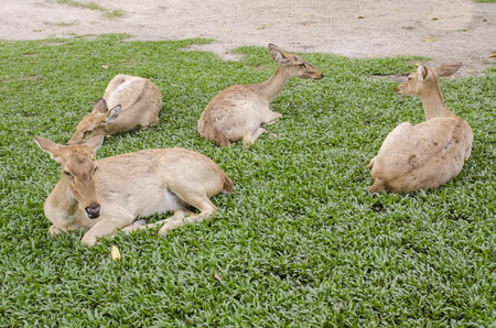 a group of Siamese Elds deer (Cervus eldi) photo