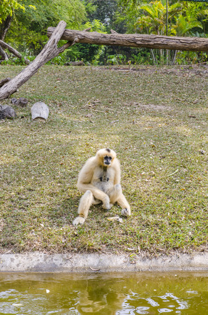 White Cheeked Gibbon at open zoo in thailand