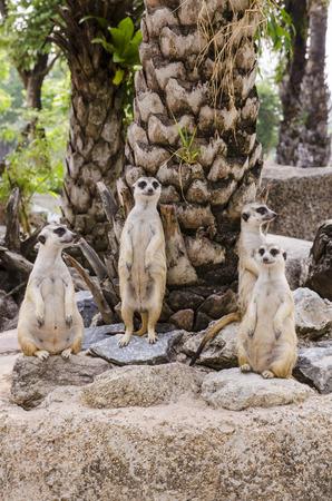 meerkat family at open zoo in thailand