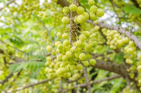 more mature: star gooseberry on tree.