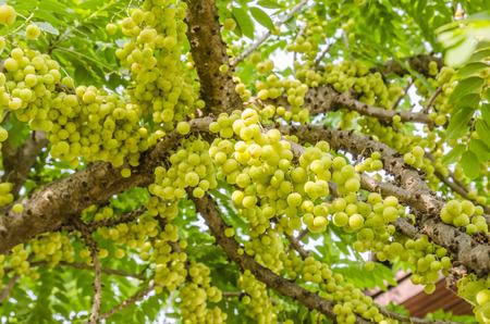 star gooseberry on tree.