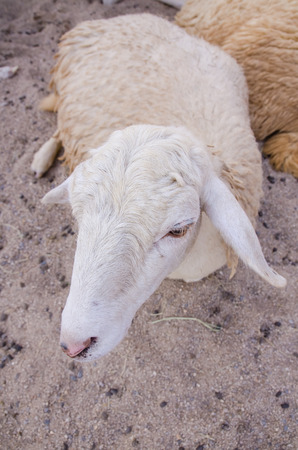 sheep on the ground. Stock Photo