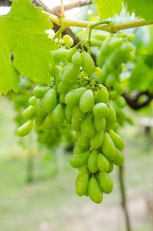 a little green grape in the vineyard. Stock Photo