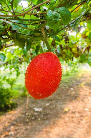 Gac fruit on tree. Stock Photo