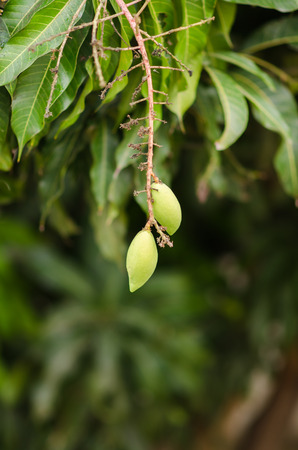 a little green mango.