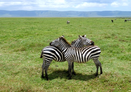 sensible: Two zebras supporting each other at Serengueti