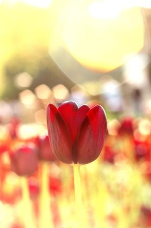 lens flare: Tulipani soleggiato con riflesso lente Archivio Fotografico