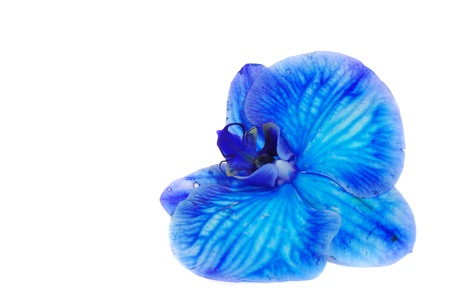 One big blue orchid isolated on white background Фото со стока