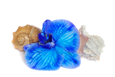 Two shells and blue orchid on white background Фото со стока