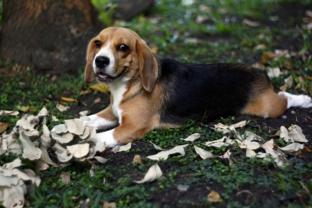beagle s playtime Stock Photo