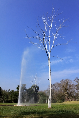 spout: Hight white tree near the spout geyser