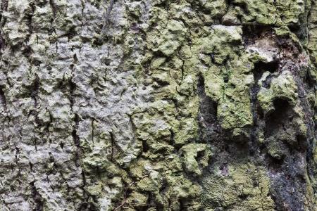 The rough texture of big tree s bark  photo