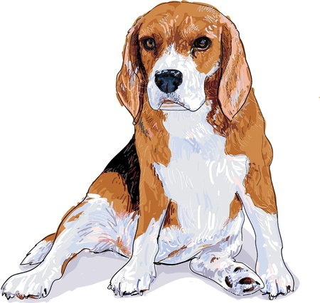 Beagle is sitting that look like she waiting somthing and now she look fat  Stock Vector - 16174418