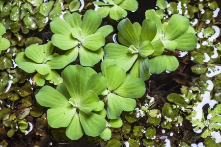 duckweed: Duckweed grow in the water with nerve plant