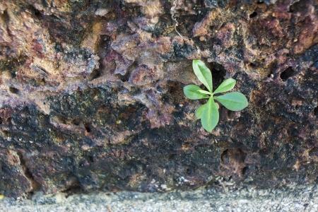 Plant grow on the stonewall photo