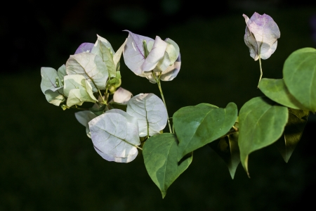 The Paper flowe or Bougainvillea on the dark background  Stock Photo